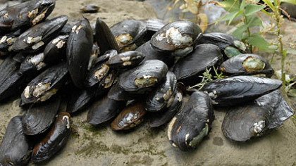 These fresh water mussels have been collected from Pool 6 of the Allegheny River as part of a Western Pennsylvania Conservancy study to  evaluate the river's health.