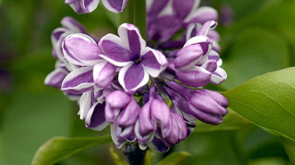 Lilacs are among the shrubs that can tolerate road salt.